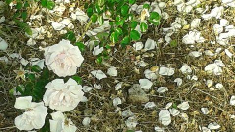 Rose 4 poesia