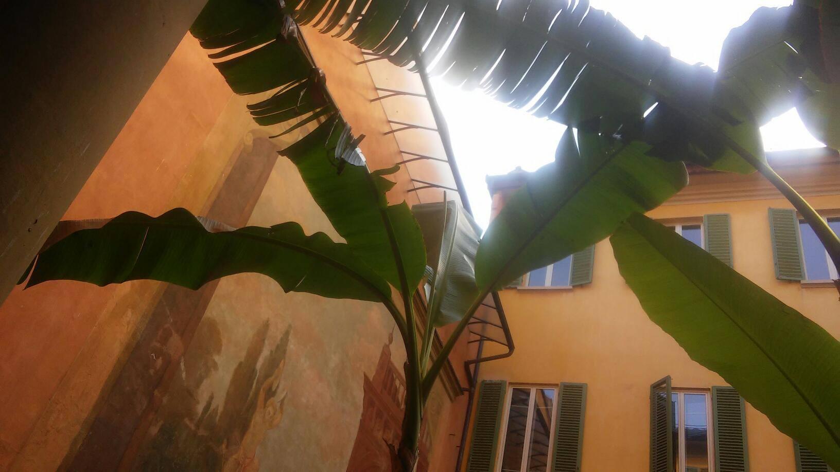 Foglie di banano giapponese adulto, parte superiore della pianta Musa basjoo