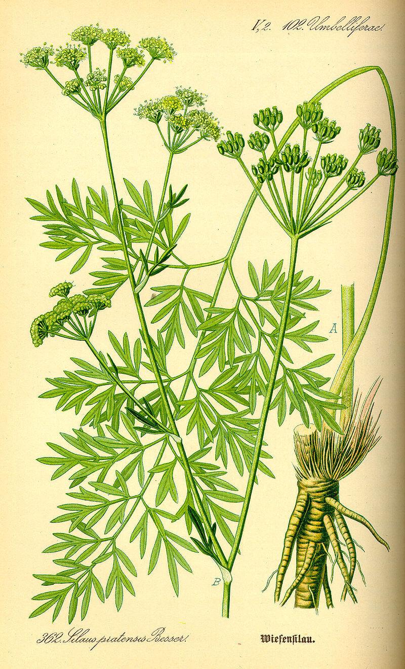 Silaus silaum descrizione della pianta e informazioni for Ocra pianta
