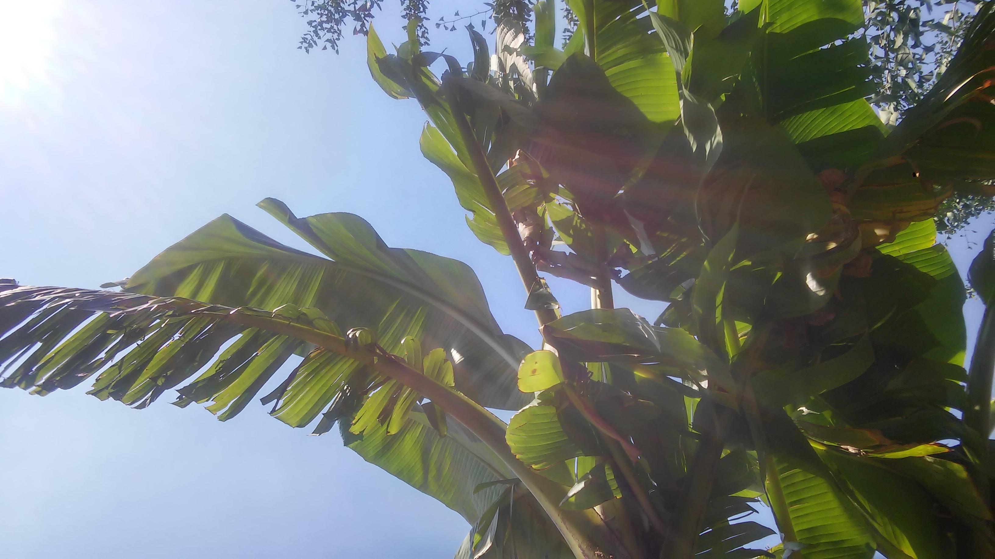 Banano foglie