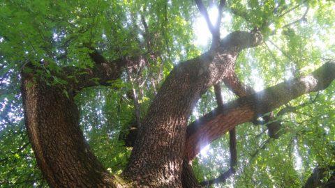 pastore albero poesia