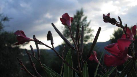 oleandro fiori nuvole