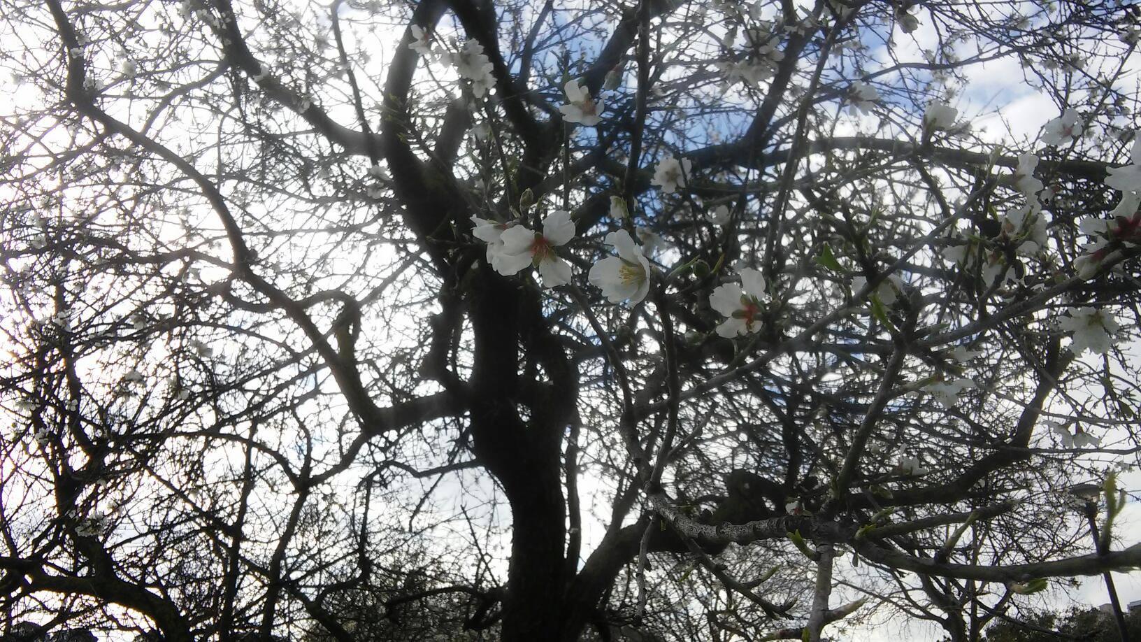 Ciliegio in fiore a Monteclaro Cagliari